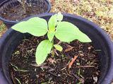 Sunflower in Pot 20141204.jpg